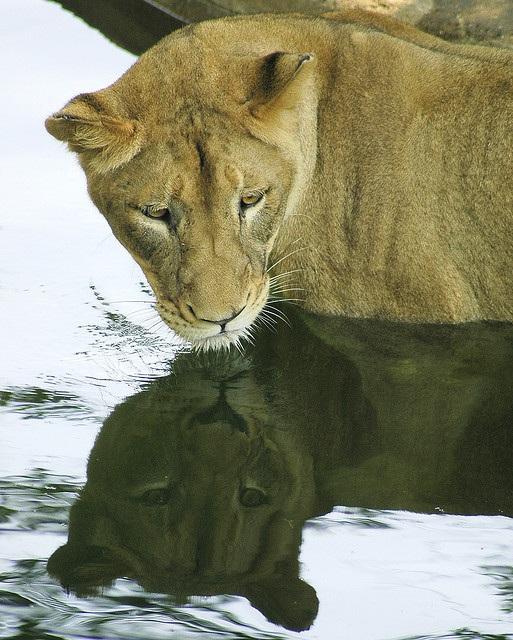 Curiosas fotografías de animales viendo su reflejo en el agua 08